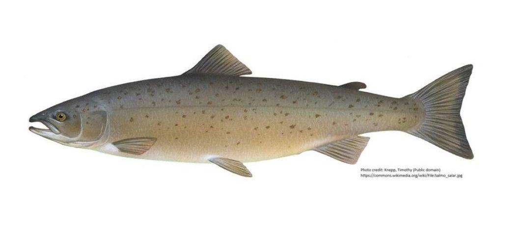 Atlantic_salmon__wiki_wide.jpg