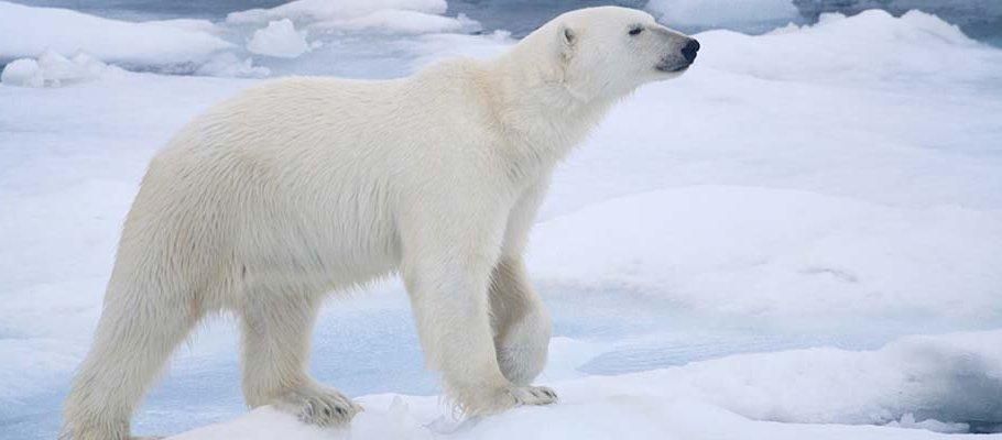PolarBear_wide.jpg