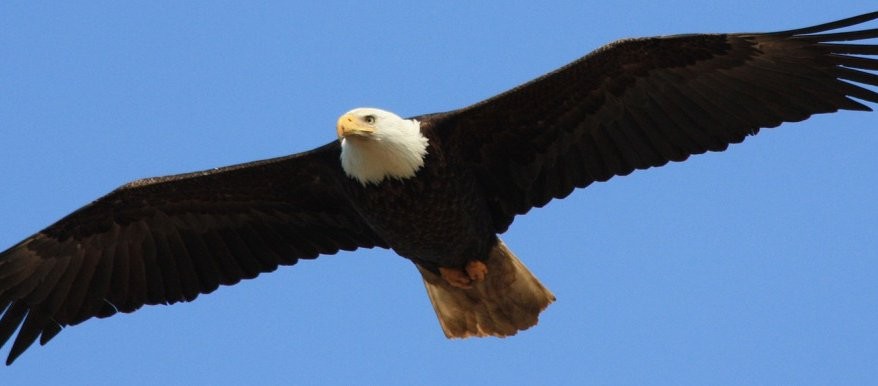 bald-eagle-clear-blue-sky_wide.jpg