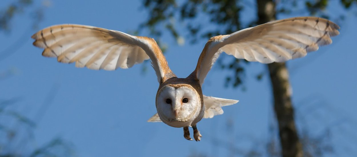 barn-owl-wide.jpg