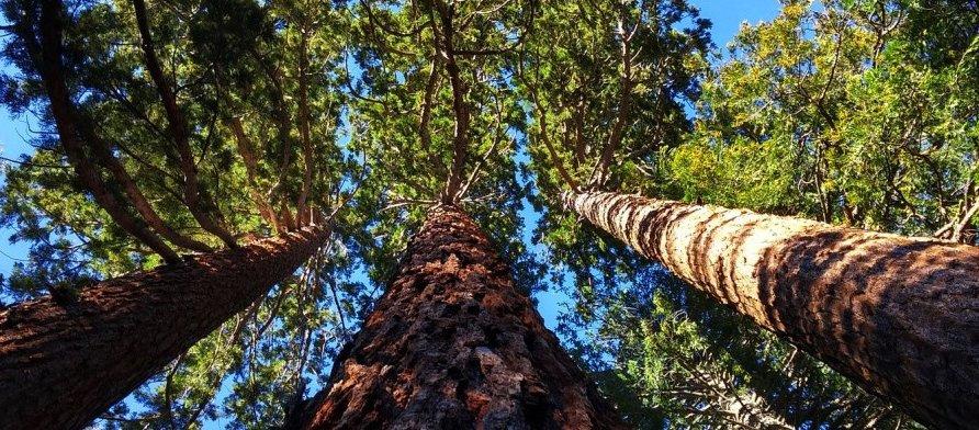 giant-sequoia-wide.jpg