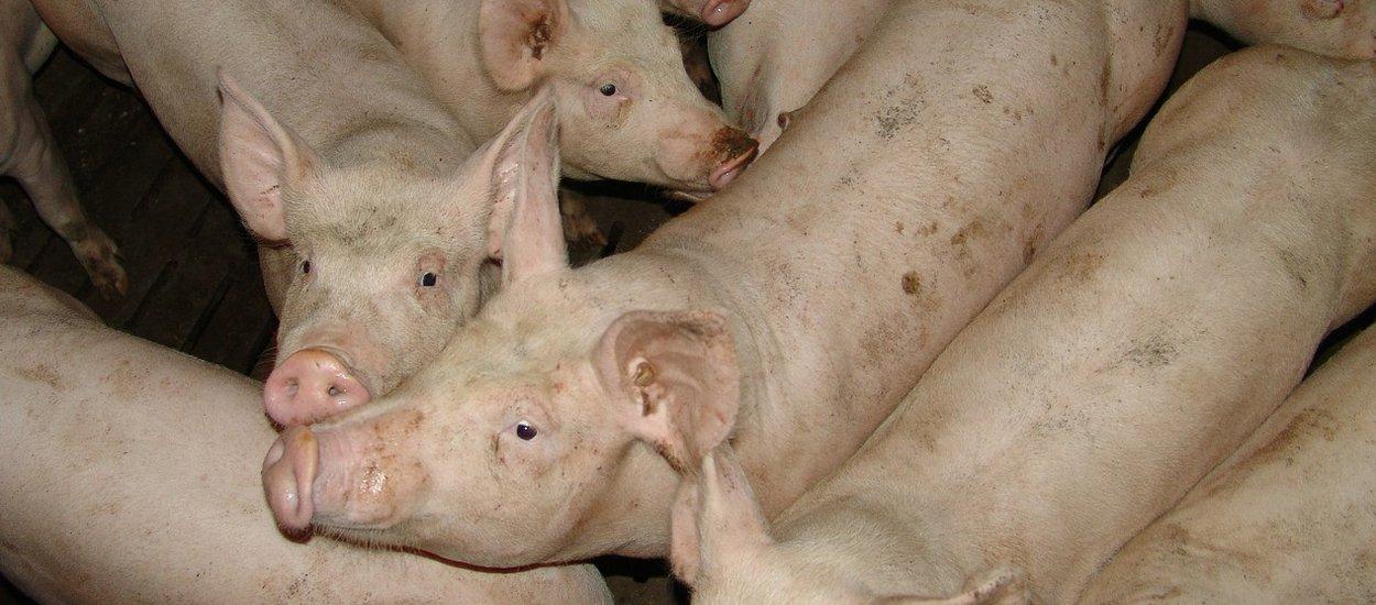 pig-farm-wide.jpg