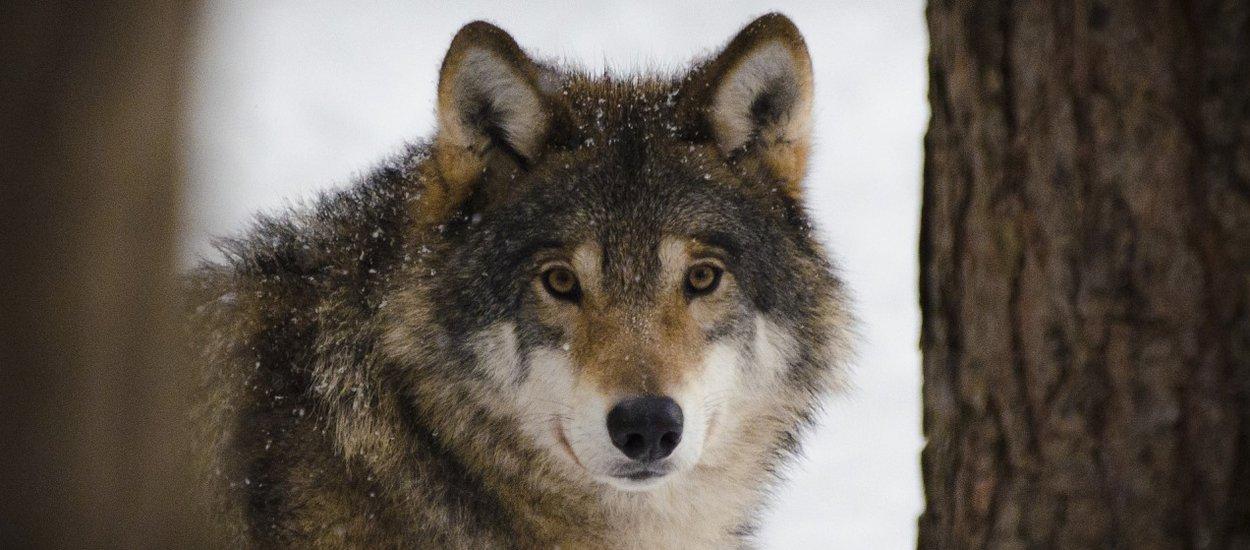 wolf-02-wide.jpg